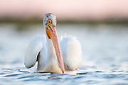 American White Pelican, Pelecanus erythrorhynchos, South Dakota