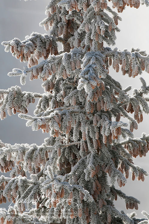 Pine cones covered in frost from the Firehole river, Yellowstone National Park, Wyoming