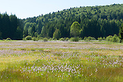 Feuchtwiese mit Blumen, Wald, Nationalpark bei Sankt Oswald, Bayerischer Wald, Bayern, Deutschland | marsh, flowers, national park near Sankt Oswald, Bavarian Forest, Bavaria, Germany