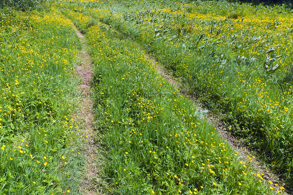 Buttercup tracks