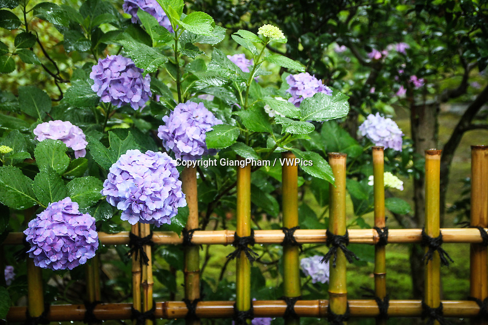 Flower blossom on a fence in Zen Garden in Kyoto Prefectures, Japan