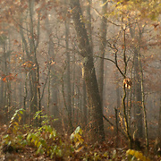 Fall woods, foggy morning