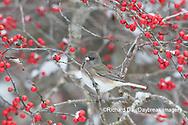01569-01719 Dark-eyed Junco (Junco hyemalis) in Winterberry bush (Ilex verticillata) Marion Co. IL