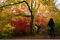 © Licensed to London News Pictures. 22/10/2016. Godalming, UK.  A lady takes a photograph of the autumn displays of colour at Winkworth Arboretum in Surrey today.  Photo credit: Rob Arnold/LNP