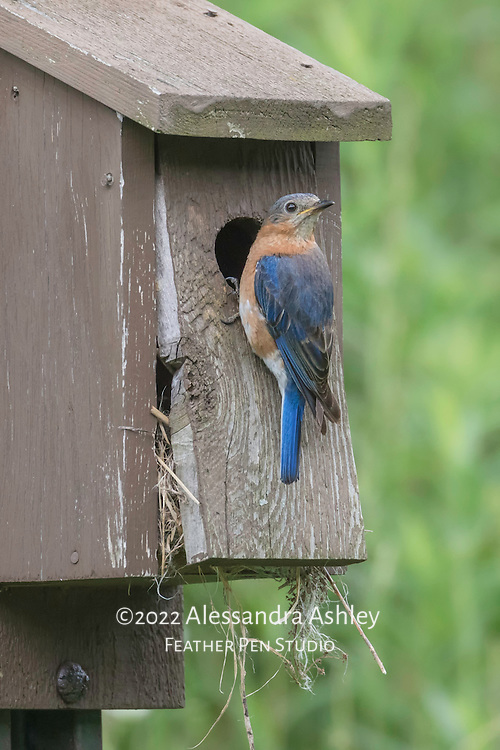 Eastern bluebird (Sialia sialis) perched outside nesting box at nature preserve, NE Ohio.