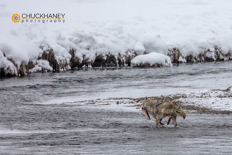 Coyote catching a trout in the Madison River in winter in Yellowstone National Park, Wyoming, USA