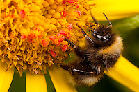 Macro view of bumblebee resting on ragwort wildflower blossom while red velvet mites feed on pollen grains, Kodiak Island, Summer