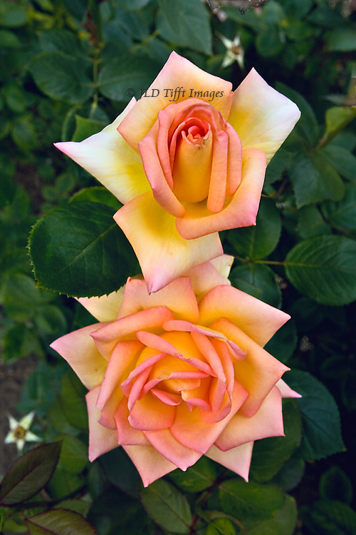 Two perfect blush roses, one over the other, blooming in St. James Park, London.