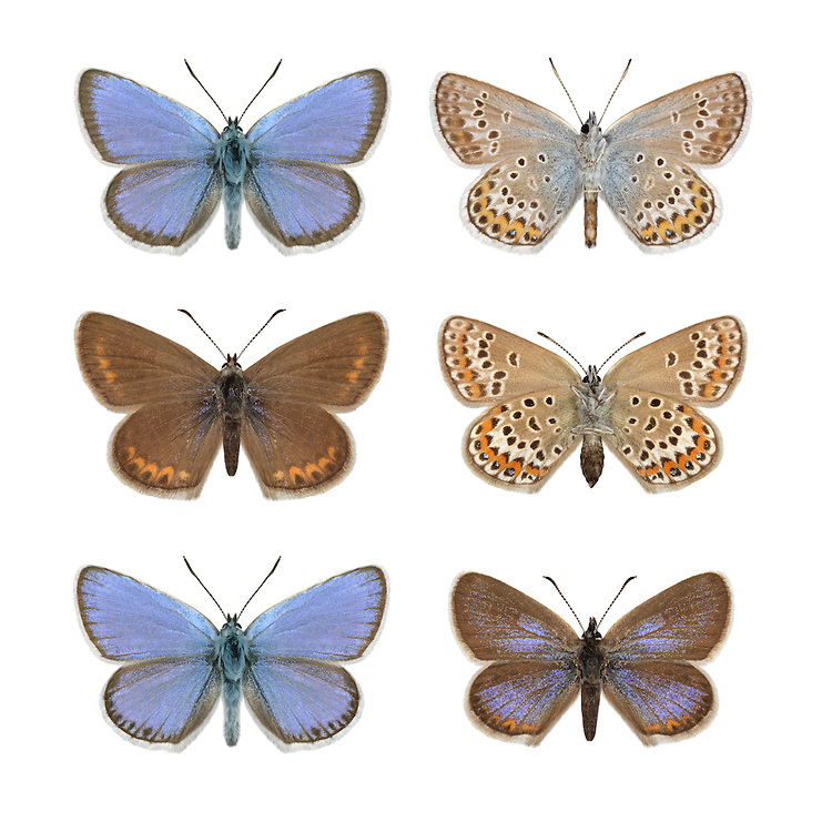 Silver-studded Blue - Plebejus argus - male (top row) - female (middle row) - N Wales ssp. caernensis (bottom row). Wingspan 25-30mm. An iconic heathland butterfly whose fate is inextricably linked to appropriate habitat management. Flight is buzzing and hard to follow but adults are also fond of sunbathing on Heather. Adult male has blue upperwings with a white margin and dark submarginal band; female upperwings are brown with orange submarginal spots. Underwings are grey adorned with orange and black spots, with shiny spots at the centre of orange and black spots adorning the underwings. Flies June-July. Their larvae feed on Heather and gorse species.