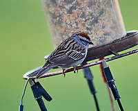 Chipping Sparrow at the bird feeder. Image taken with a Nikon D5 camera and 600 mm f/4 VR lens (ISO 1600, 600 mm, f/5.6, 1/200 sec).