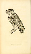 Scops Atricapilla - Screech Owl from volume XIII (Aves) Part 2, of 'General Zoology or Systematic Natural History' by British naturalist George Shaw (1751-1813). Griffith, Mrs., engraver. Heath, Charles, 1785-1848, engraver. Stephens, James Francis, 1792-1853 Published in London in 1825 by G. Kearsley
