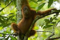 Young adult female Bornean Orangutan (Pongo pygmaeus)...(Walima aka Martina).