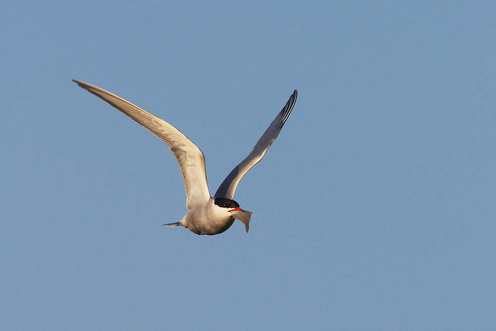 Common Tern (Sterna hirundo), Texel, the Netherlands