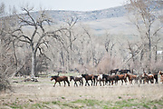 Horses herd up and are moved from winter pasture.
