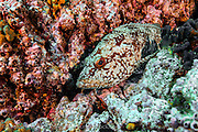 A Starry Grouper or Flag Cabrilla, Epinephelus labriformis, rests on a rocky reef offshore San Benedicto Island, part of the Revillagigedo Archipelago 220 miles from Cabo San Lucas, Mexico.