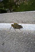Cricket, Costa Careyes, Costalegre, Jalisco, Mexico