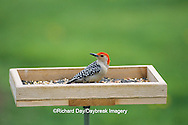 01196-01901 Red-bellied Woodpeckers (Melanerpes carolinus) male at tray feeder Marion Co.  IL