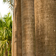 Royal Palms, Roystonia Regia, Tainan Park, Tainan City, Taiwan
