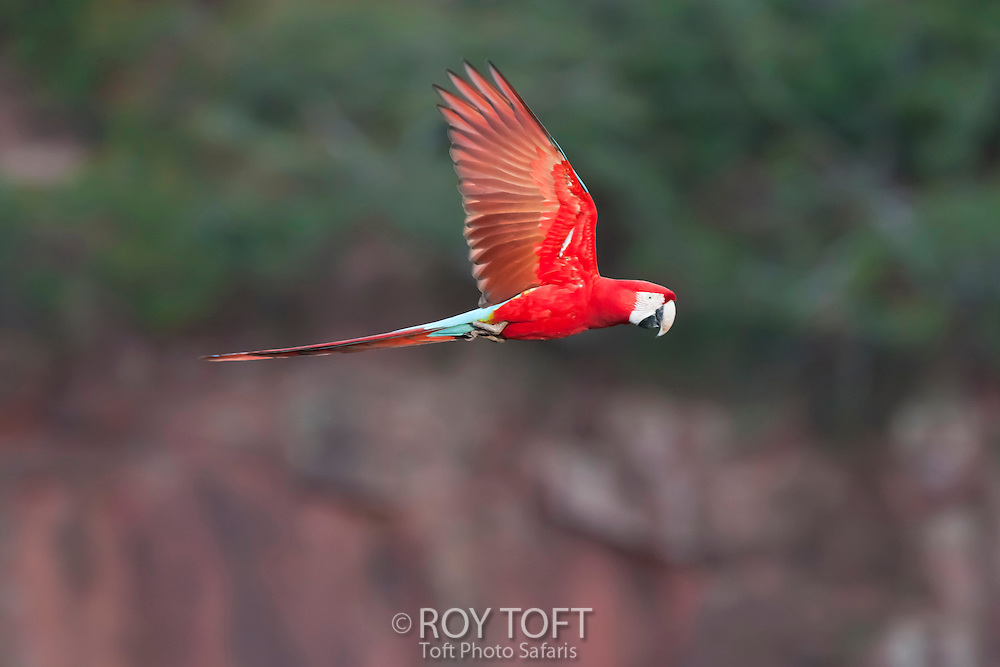 Green-winged macaw in flight.