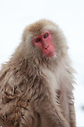 Snow monkey, looking to camera