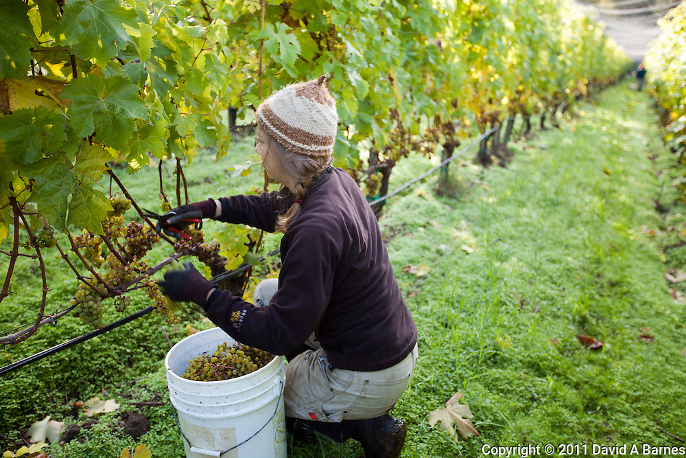 Young woman harvesting Madeleine Angevine grapes.