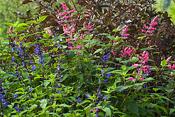 Salvia guaranitica 'Indigo' with S. involucrata 'Bethellii' against the foliage of Sambucus nigra