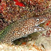 Spotted Moray inhabit wide range of reefs; hide during day in recesses, often extend head from openings in Tropical West Atlantic; picture taken Grand Turk.