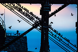 © Licensed to London News Pictures. 20/01/2018. Aberystwyth, UK. Tens of thousands of tiny starlings  roost for the night, covering every spare inch of the girders and beams underneath Aberystwyth's distinctive seaside pier on  cold January evening. One of only a few urban roosts in the UK, Aberystwyth pier offers birdwatchers an unique opportunity to get 'up close' to these birds, which,  although plentiful in Aberystwyth ,  are on the RSPB's 'red list' of endangered creatures. Photo credit: Keith Morris/LNP