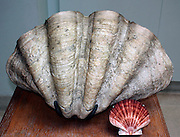 The Mollusc shell is typically an exoskeleton which encloses the animal in the Mollusca, which includes snails, clams, tusk shells and several other classes.  The shells in some mollusc show in bands e.g. seasons, tides, bad winters and pollution.