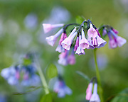 I photographed these lovely Virginia Bluebells blooming in Fullersburg Woods (Oak Brook, Illinois). <br />
