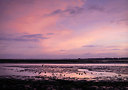 Wading birds search for food as the sun sets over Chichester Harbour. Emsworth, Hampshire.<br /> Picture date: Wednesday January 9, 2019.<br /> Photograph by Christopher Ison &copy;<br /> 07544044177<br /> chris@christopherison.com<br /> www.christopherison.com