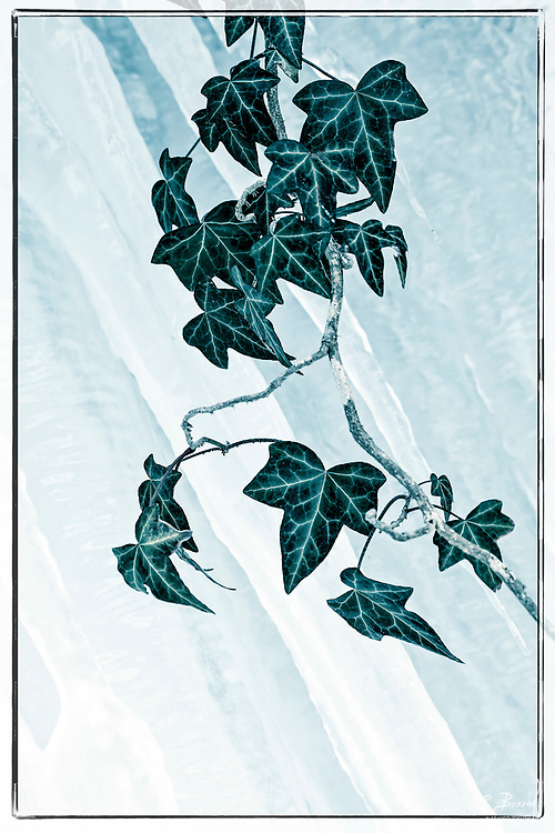 Ivy on a frozen background, the Talent, Vaud, Switzerland