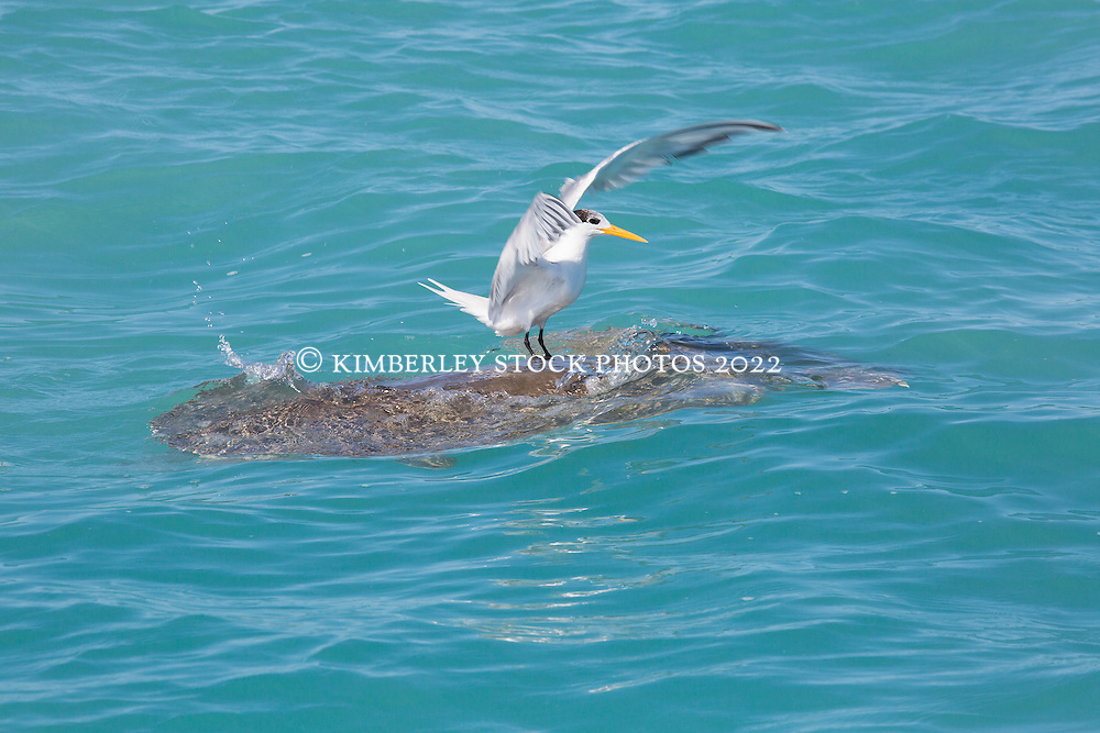 A Crested Tern (Sterna bergii) rests on a Flatback Turtle (Natator depressus) in Roebuck Bay near Broome on the Kimberley coast.