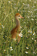 Sandhill crane downy chick in green flowery meadow, depth of focus technique, © 2014 David A. Ponton