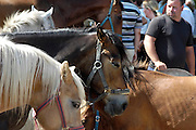 Nederland, Bemmel, 9-8-2012Paardenmarkt, ponymarkt in Bemmel. Handelaren ruzieen over de hoef van een paard. Veel van de verhandelde dieren gaan naar slachthuizen o.a. in Italie en Belgie. dierenmishandeling, paardenvlees.  Transport van dieren in Europa. Foto: Flip Franssen/Hollandse Hoogte