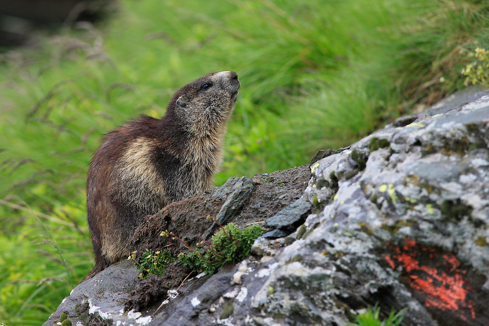 Alpine Marmot (Marmota marmota) sitting on a rock at cloudy afternoon. Hohe Tauern National Park, Carinthia, Austria