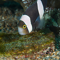 Saddleback Anemonefish, Amphiprion ploymnus, swims over her eggs,  Lembeh Island, Lembeh Strait, Pacific Ocean, Indonesia,