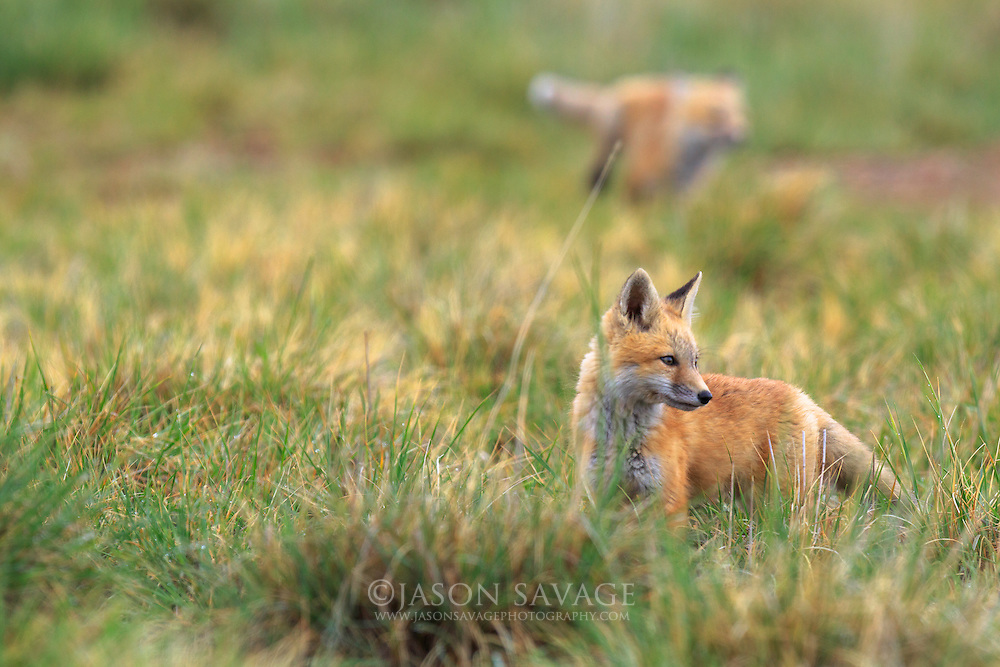 Red Fox Kits play near the Lake Helena Wildlife Management Area. Helena, Montana.