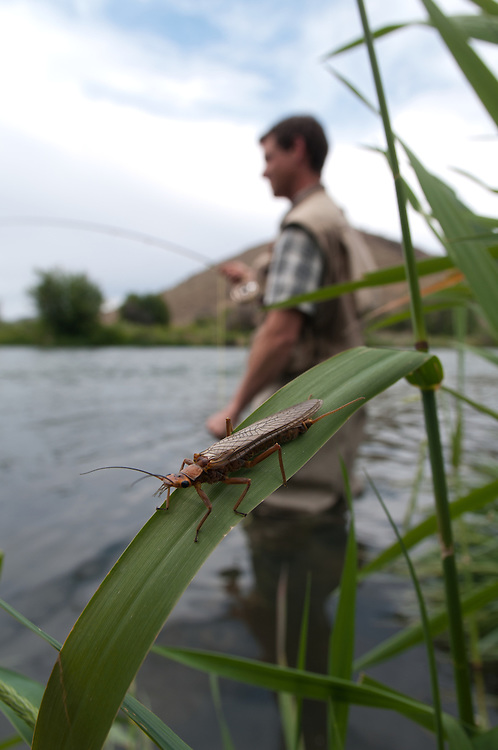 A golden stonefly crawls on a blade of grass as a fisherman sets the hook.