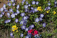 Baby Blue Eyes (Nemophila phacelioides), Gonzales County, Texas