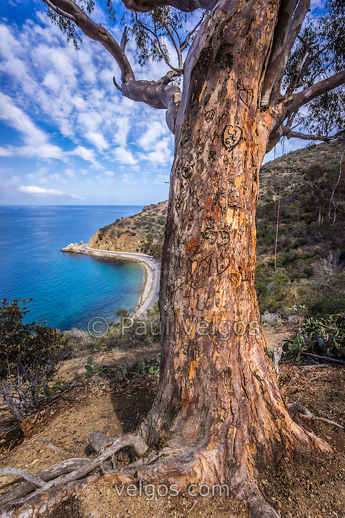 Catalina Island Lover's Cove tree. The tree is frequently used for posing for wedding pictures and portraits with beautiful Lover's Cove in the background. Lovers Cove is a popular spot on Catalina Island for snorkeling and diving. Catalina Island is a popular travel destination off the coast of Southern California in the United States.