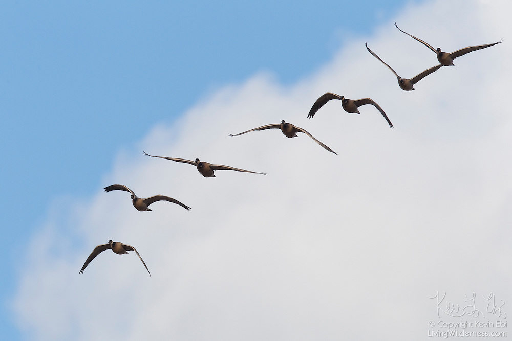 Seven Canada geese (Branta canadensis) fly in formation, tracing the outline of a cloud over the Nisqually National Wildlife Refuge in Washington state.