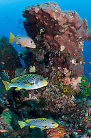 A pair of Sweetlips' and a Snapper hold out of the current behind a coral head<br /> <br /> <br /> Shot in Indonesia