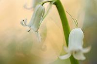 White bluebells Hyacinthoides non-scripta in Hallerbos forest, Belgium