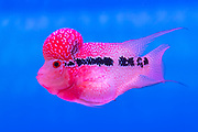 "A hybrid of several Middle American cichlide species knowwn in China as ""Flower Horn"". Photo from gold Fish Marked, Hong Kong."