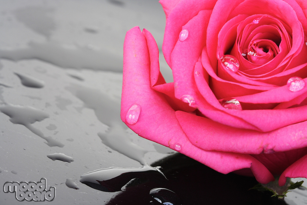 Close-up of pink rose on black background