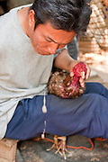 11 APRIL 2010 - PLA PAK, NAKHON PHANOM, THAILAND: A trainer cleans the head wounds on his fighting cock after a bout in rural northeastern Thailand. Cockfighting is enormously popular in rural Thailand. A big fight can bring the ring operator as much as 200,000 Thai Baht (about $6,000 US), a large sum of money in rural Thailand. Fighting cocks live for about 10 years and only fight for 2nd and 3rd years of their lives. Most have only four fights per year. Fighting cocks in Thailand do not wear the spurs or razor blades that they do in some countries and most times the winner is based on which rooster stops fighting or tires first rather than which is the most severely injured. Although gambling is illegal in Thailand, many times fight promoters are able to get an exemption to the gambling laws and a lot of money is wagered on the fights. Many small rural communities have at least one cockfighting arena.   PHOTO BY JACK KURTZ