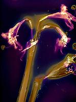 WA13699-00...WASHINGTON - A luman image of an orchid.