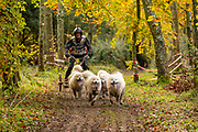 Competitor in 4 dog freight class during the WSA Dryland World Championship 2019 at Firle Country Estate in the South Downs National Park, Lewes, Sussex, United Kingdom on 17 November 2019.