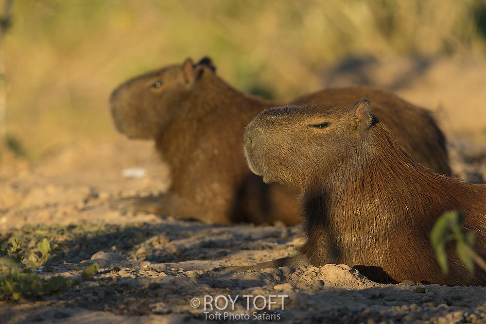 Capybara- Hydrochoerus hydrochaeris, Pantanal, Brazil
